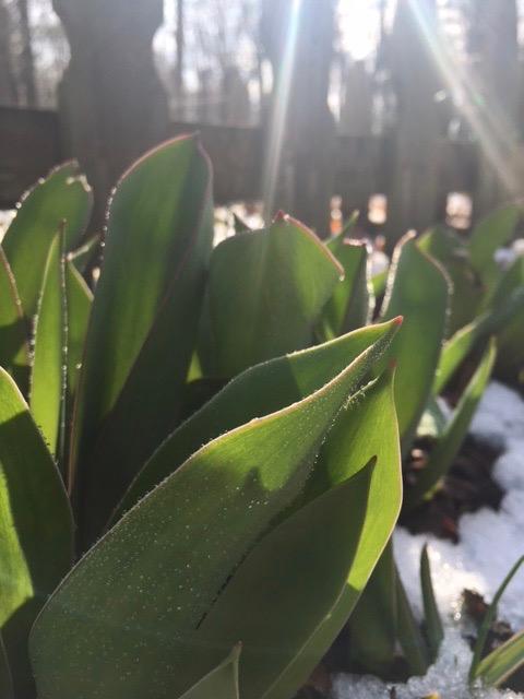 frosty tulips